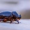 Ragvabalis - Temnorhynchus baal | Fotografijos autorius : Vaida Paznekaitė | © Macrogamta.lt | Šis tinklapis priklauso bendruomenei kuri domisi makro fotografija ir fotografuoja gyvąjį makro pasaulį.