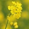Rapsas - Brassica napus | Fotografijos autorius : Gintautas Steiblys | © Macrogamta.lt | Šis tinklapis priklauso bendruomenei kuri domisi makro fotografija ir fotografuoja gyvąjį makro pasaulį.