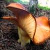 Raudongalvis baltikenis - Tricholomopsis rutilans | Fotografijos autorius : Aleksandras Stabrauskas | © Macrogamta.lt | Šis tinklapis priklauso bendruomenei kuri domisi makro fotografija ir fotografuoja gyvąjį makro pasaulį.