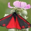Raudonsparnė meškutė - Thyria jacobaeae | Fotografijos autorius : Gintautas Steiblys | © Macrogamta.lt | Šis tinklapis priklauso bendruomenei kuri domisi makro fotografija ir fotografuoja gyvąjį makro pasaulį.