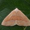 Raudonsprindis - Hylaea fasciaria | Fotografijos autorius : Gintautas Steiblys | © Macrogamta.lt | Šis tinklapis priklauso bendruomenei kuri domisi makro fotografija ir fotografuoja gyvąjį makro pasaulį.