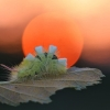 Raudonuodegis verpikas - Calliteara pudibunda, vikšras   Fotografijos autorius : Agnė Našlėnienė   © Macrogamta.lt   Šis tinklapis priklauso bendruomenei kuri domisi makro fotografija ir fotografuoja gyvąjį makro pasaulį.