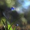 Sibirinė scylė - Scilla siberica | Fotografijos autorius : Vidas Brazauskas | © Macrogamta.lt | Šis tinklapis priklauso bendruomenei kuri domisi makro fotografija ir fotografuoja gyvąjį makro pasaulį.