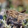 Uolinio skėrio Ocneridia nigropunctata nimfa | Fotografijos autorius : Deividas Makavičius | © Macrogamta.lt | Šis tinklapis priklauso bendruomenei kuri domisi makro fotografija ir fotografuoja gyvąjį makro pasaulį.