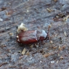 Krypūnėliškasis skaptavabalis - Cerylon histeroides | Fotografijos autorius : Romas Ferenca | © Macrogamta.lt | Šis tinklapis priklauso bendruomenei kuri domisi makro fotografija ir fotografuoja gyvąjį makro pasaulį.