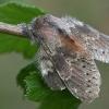 Skroblinė harpija - Stauropus fagi | Fotografijos autorius : Gintautas Steiblys | © Macrogamta.lt | Šis tinklapis priklauso bendruomenei kuri domisi makro fotografija ir fotografuoja gyvąjį makro pasaulį.