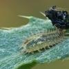 Skydinukas - Cassida sp., lerva | Fotografijos autorius : Gintautas Steiblys | © Macrogamta.lt | Šis tinklapis priklauso bendruomenei kuri domisi makro fotografija ir fotografuoja gyvąjį makro pasaulį.