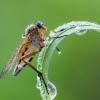 Slankmusė | Marsh snipefly | Rhagio tringarius | Fotografijos autorius : Darius Baužys | © Macrogamta.lt | Šis tinklapis priklauso bendruomenei kuri domisi makro fotografija ir fotografuoja gyvąjį makro pasaulį.