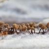Sietūnis - Cribraria sp. | Fotografijos autorius : Žilvinas Pūtys | © Macrogamta.lt | Šis tinklapis priklauso bendruomenei kuri domisi makro fotografija ir fotografuoja gyvąjį makro pasaulį.