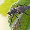 Snapmusė - Rhamphomyia sulcata | Fotografijos autorius : Gintautas Steiblys | © Macrogamta.lt | Šis tinklapis priklauso bendruomenei kuri domisi makro fotografija ir fotografuoja gyvąjį makro pasaulį.