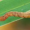Balsvasis taškasprindis - Cyclophora albipunctata, vikšras | Fotografijos autorius : Gintautas Steiblys | © Macrogamta.lt | Šis tinklapis priklauso bendruomenei kuri domisi makro fotografija ir fotografuoja gyvąjį makro pasaulį.