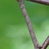 Miškinis šeriasprindis - Lycia hirtaria | Fotografijos autorius : Agnė Našlėnienė | © Macrogamta.lt | Šis tinklapis priklauso bendruomenei kuri domisi makro fotografija ir fotografuoja gyvąjį makro pasaulį.