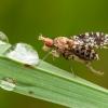 Sraigžudė - Trypetoptera punctulata | Fotografijos autorius : Žilvinas Pūtys | © Macrogamta.lt | Šis tinklapis priklauso bendruomenei kuri domisi makro fotografija ir fotografuoja gyvąjį makro pasaulį.