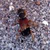 Trumpasparnis - Staphylinus dimidiaticornis Gemminger, 1851 | Fotografijos autorius : Vitalii Alekseev | © Macrogamta.lt | Šis tinklapis priklauso bendruomenei kuri domisi makro fotografija ir fotografuoja gyvąjį makro pasaulį.
