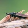 Storakojis uodas - Dilophus cf febrilis | Fotografijos autorius : Gintautas Steiblys | © Macrogamta.lt | Šis tinklapis priklauso bendruomenei kuri domisi makro fotografija ir fotografuoja gyvąjį makro pasaulį.
