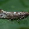 Svogūninė kandis - Acrolepiopsis assectella | Fotografijos autorius : Žilvinas Pūtys | © Macrogamta.lt | Šis tinklapis priklauso bendruomenei kuri domisi makro fotografija ir fotografuoja gyvąjį makro pasaulį.