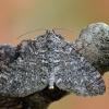 Tamsiajuostis skiautenis - Lobophora halterata   Fotografijos autorius : Arūnas Eismantas   © Macrogamta.lt   Šis tinklapis priklauso bendruomenei kuri domisi makro fotografija ir fotografuoja gyvąjį makro pasaulį.