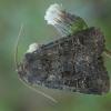 Tamsusis šakniagraužis pelėdgalvis - Tholera cespitis | Fotografijos autorius : Žilvinas Pūtys | © Macrogamta.lt | Šis tinklapis priklauso bendruomenei kuri domisi makro fotografija ir fotografuoja gyvąjį makro pasaulį.