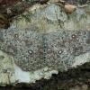 Tamsusis taškasprindis - Cyclophora pendularia   Fotografijos autorius : Žilvinas Pūtys   © Macrogamta.lt   Šis tinklapis priklauso bendruomenei kuri domisi makro fotografija ir fotografuoja gyvąjį makro pasaulį.
