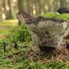 Tikrinis blizgutis - Ganoderma lucidum   Fotografijos autorius : Vytautas Gluoksnis   © Macrogamta.lt   Šis tinklapis priklauso bendruomenei kuri domisi makro fotografija ir fotografuoja gyvąjį makro pasaulį.