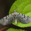 Tinklasprindytis - Eupithecia venosata | Fotografijos autorius : Žilvinas Pūtys | © Macrogamta.lt | Šis tinklapis priklauso bendruomenei kuri domisi makro fotografija ir fotografuoja gyvąjį makro pasaulį.