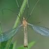 Ilgakojis uodas - Tipula fascipennis ♂  | Fotografijos autorius : Gintautas Steiblys | © Macrogamta.lt | Šis tinklapis priklauso bendruomenei kuri domisi makro fotografija ir fotografuoja gyvąjį makro pasaulį.