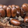 Trapusis lygainis - Leocarpus fragilis | Fotografijos autorius : Žilvinas Pūtys | © Macrogamta.lt | Šis tinklapis priklauso bendruomenei kuri domisi makro fotografija ir fotografuoja gyvąjį makro pasaulį.