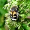 Raštuotasis auksavabalis - Trichius fasciatus | Fotografijos autorius : Vitalii Alekseev | © Macrogamta.lt | Šis tinklapis priklauso bendruomenei kuri domisi makro fotografija ir fotografuoja gyvąjį makro pasaulį.