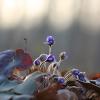 Triskiautė žibuoklė - Hepatica nobilis | Fotografijos autorius : Agnė Našlėnienė | © Macrogamta.lt | Šis tinklapis priklauso bendruomenei kuri domisi makro fotografija ir fotografuoja gyvąjį makro pasaulį.