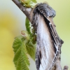 Tuopinis kuodis - Pheosia tremula | Fotografijos autorius : Arūnas Eismantas | © Macrogamta.lt | Šis tinklapis priklauso bendruomenei kuri domisi makro fotografija ir fotografuoja gyvąjį makro pasaulį.