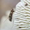 Uodas - Ditomyia fasciata | Fotografijos autorius : Romas Ferenca | © Macrogamta.lt | Šis tinklapis priklauso bendruomenei kuri domisi makro fotografija ir fotografuoja gyvąjį makro pasaulį.
