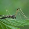 Uodas - Eloeophila apicata ♀ | Fotografijos autorius : Žilvinas Pūtys | © Macrogamta.lt | Šis tinklapis priklauso bendruomenei kuri domisi makro fotografija ir fotografuoja gyvąjį makro pasaulį.
