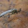 Uodas trūklys - Chironomidae | Fotografijos autorius : Gintautas Steiblys | © Macrogamta.lt | Šis tinklapis priklauso bendruomenei kuri domisi makro fotografija ir fotografuoja gyvąjį makro pasaulį.