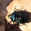 Mėlynoji skydblakė - Zicrona caerulea | Fotografijos autorius : Ramunė Vakarė | © Macrogamta.lt | Šis tinklapis priklauso bendruomenei kuri domisi makro fotografija ir fotografuoja gyvąjį makro pasaulį.
