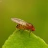 Vaisinė muselė - Drosophila transversa | Fotografijos autorius : Romas Ferenca | © Macrogamta.lt | Šis tinklapis priklauso bendruomenei kuri domisi makro fotografija ir fotografuoja gyvąjį makro pasaulį.