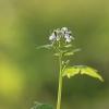 Vaistinė česnakūnė - Alliaria petiolata | Fotografijos autorius : Agnė Našlėnienė | © Macrogamta.lt | Šis tinklapis priklauso bendruomenei kuri domisi makro fotografija ir fotografuoja gyvąjį makro pasaulį.