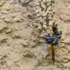 Vapsva | Fotografijos autorius : Darius Baužys | © Macrogamta.lt | Šis tinklapis priklauso bendruomenei kuri domisi makro fotografija ir fotografuoja gyvąjį makro pasaulį.