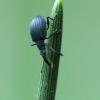 Pelėžirninis apionas - Oxystoma pomonae | Fotografijos autorius : Vidas Brazauskas | © Macrogamta.lt | Šis tinklapis priklauso bendruomenei kuri domisi makro fotografija ir fotografuoja gyvąjį makro pasaulį.