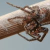 Voras | Fotografijos autorius : Gintautas Steiblys | © Macrogamta.lt | Šis tinklapis priklauso bendruomenei kuri domisi makro fotografija ir fotografuoja gyvąjį makro pasaulį.