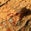 Samaninis žnyplys - Neobisium carcinoides | Fotografijos autorius : Ramunė Vakarė | © Macrogamta.lt | Šis tinklapis priklauso bendruomenei kuri domisi makro fotografija ir fotografuoja gyvąjį makro pasaulį.