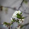 Vyšnios žiedai | Fotografijos autorius : Darius Baužys | © Macrogamta.lt | Šis tinklapis priklauso bendruomenei kuri domisi makro fotografija ir fotografuoja gyvąjį makro pasaulį.