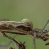 Vytis - Acrodactyla carinator, lerva | Fotografijos autorius : Žilvinas Pūtys | © Macrogamta.lt | Šis tinklapis priklauso bendruomenei kuri domisi makro fotografija ir fotografuoja gyvąjį makro pasaulį.