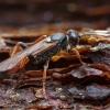 Vytis - Ichneumon gracilentus ♀ | Fotografijos autorius : Žilvinas Pūtys | © Macrogamta.lt | Šis tinklapis priklauso bendruomenei kuri domisi makro fotografija ir fotografuoja gyvąjį makro pasaulį.