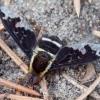 Zvimbeklė - Hemipenthes maura | Fotografijos autorius : Romas Ferenca | © Macrogamta.lt | Šis tinklapis priklauso bendruomenei kuri domisi makro fotografija ir fotografuoja gyvąjį makro pasaulį.
