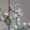 Uosinis sprindytis - Eupithecia innotata | Fotografijos autorius : Zita Gasiūnaitė | © Macrogamta.lt | Šis tinklapis priklauso bendruomenei kuri domisi makro fotografija ir fotografuoja gyvąjį makro pasaulį.
