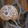 Sraigė - Theba pisana subsp. arietina | Fotografijos autorius : Gintautas Steiblys | © Macrogamta.lt | Šis tinklapis priklauso bendruomenei kuri domisi makro fotografija ir fotografuoja gyvąjį makro pasaulį.