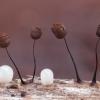 Juodasis kuodelis - Comatricha nigra | Fotografijos autorius : Žilvinas Pūtys | © Macrogamta.lt | Šis tinklapis priklauso bendruomenei kuri domisi makro fotografija ir fotografuoja gyvąjį makro pasaulį.