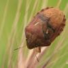 Vėžliablakė - Eurygaster integriceps | Fotografijos autorius : Gintautas Steiblys | © Macrogamta.lt | Šis tinklapis priklauso bendruomenei kuri domisi makro fotografija ir fotografuoja gyvąjį makro pasaulį.