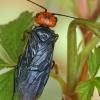 Raudongalvis pjūklelis audėjas - Acantholyda erytrocephala  | Fotografijos autorius : Gintautas Steiblys | © Macrogamta.lt | Šis tinklapis priklauso bendruomenei kuri domisi makro fotografija ir fotografuoja gyvąjį makro pasaulį.