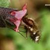 Didžioji zvimbeklė - Bombylius major  | Fotografijos autorius : Gintautas Steiblys | © Macrogamta.lt | Šis tinklapis priklauso bendruomenei kuri domisi makro fotografija ir fotografuoja gyvąjį makro pasaulį.